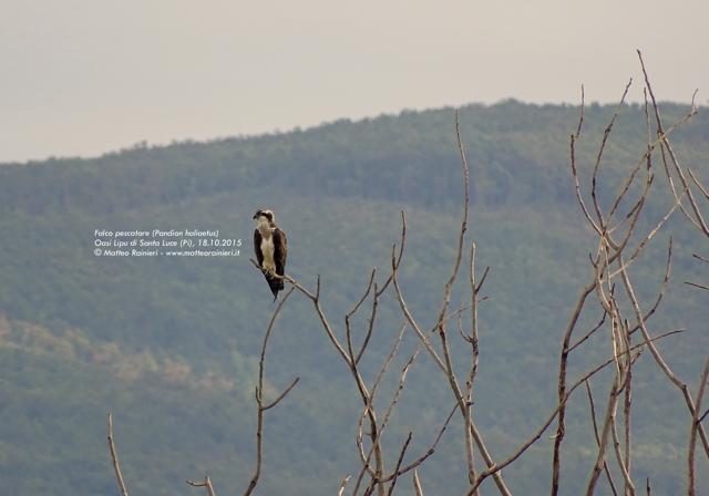Falco pescatore- Matteo Rainieri