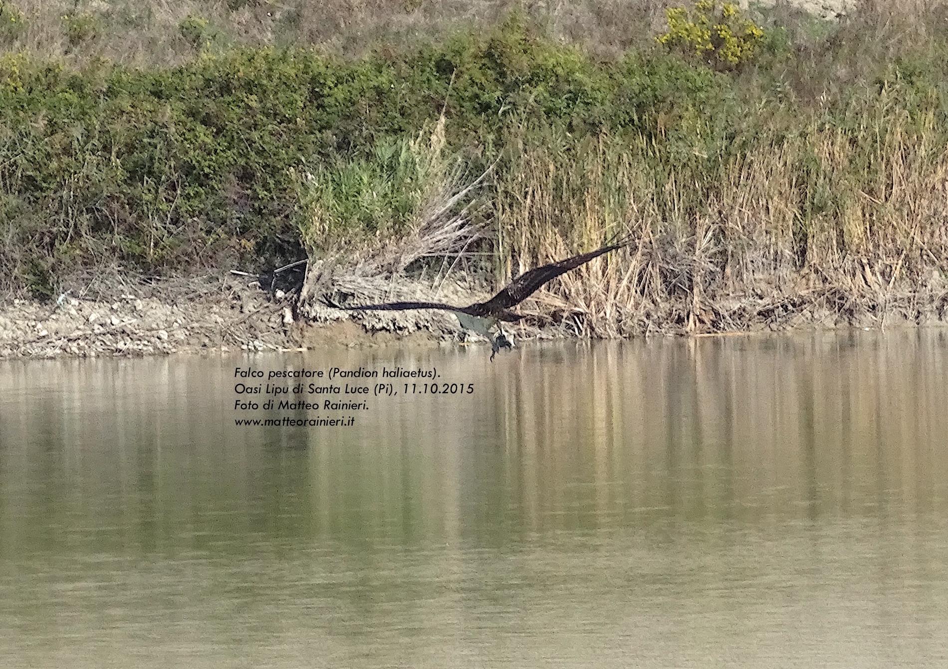 falco pescatore - matteo rainieri