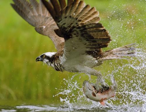 Falco pescatore al lago